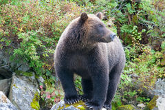 Oso grizzly que mira fijamente imagen de archivo libre de regalías