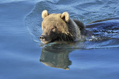 Oso grizzly que nada Fotografía de archivo