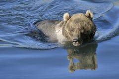 Oso grizzly que nada Fotos de archivo