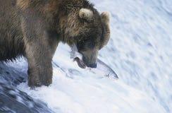 Oso grizzly que nada con los pescados en boca imágenes de archivo libres de regalías