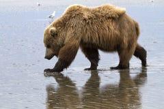 Oso grizzly y reflexión Imagen de archivo libre de regalías