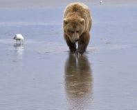 Oso grizzly y reflexión en Alaska Fotografía de archivo libre de regalías