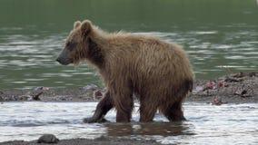 Oso grizzly y salmones metrajes