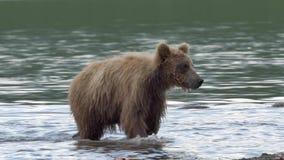 Oso grizzly y salmones almacen de video