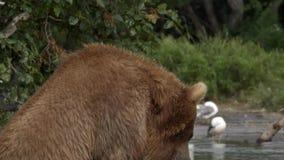 Oso grizzly y salmones almacen de metraje de vídeo