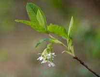 Oso jagody Oemleria cerasiformis aka Indiański śliwkowy kwitnąć Fotografia Royalty Free