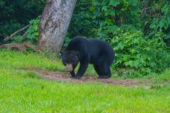 Oso malayo del sol, malayanus del Ursus del oso de miel Fotos de archivo libres de regalías