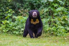 Oso malayo del sol, malayanus del Ursus del oso de miel Fotografía de archivo libre de regalías