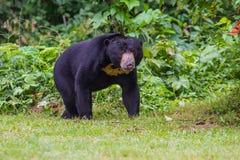 Oso malayo del sol, malayanus del Ursus del oso de miel Foto de archivo