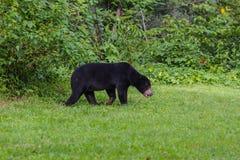 Oso malayo del sol, malayanus del Ursus del oso de miel Imagen de archivo libre de regalías