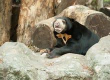 Oso malayo del sol, oso de miel Imagenes de archivo