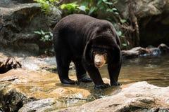 Oso malayo del sol, oso de miel, Foto de archivo