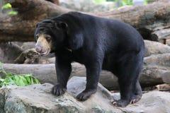 Oso malayo del sol, oso de miel Fotos de archivo