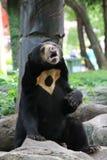 Oso malayo del sol, oso de miel Fotografía de archivo