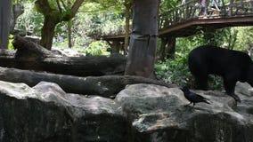 Oso malayo del sol u oso de miel en el parque del parque zoológico de Dusit o de Wana del dinar de Khao en Bangkok, Tailandia almacen de metraje de vídeo
