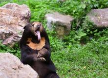 Oso malayo del sol u oso de miel en la estación de acoplamiento Imagen de archivo libre de regalías