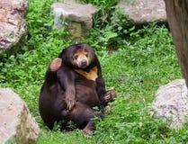 Oso malayo del sol u oso de miel en la estación de acoplamiento Imágenes de archivo libres de regalías