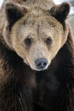oso marrón Fotografía de archivo libre de regalías