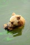 oso marrón Imagen de archivo libre de regalías