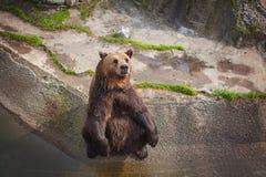 Oso marrón amistoso que se sienta en el parque zoológico Fotografía de archivo