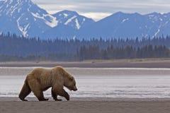 Oso marrón de Alaska a lo largo de la costa costa Imagen de archivo libre de regalías