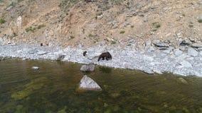 Oso marrón de la madre salvaje y dos cachorros por la orilla metrajes