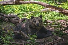 Oso marrón de reclinación (arctos del Ursus) Imagen de archivo libre de regalías