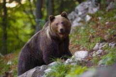 Oso marrón dominante, arctos del ursus que se colocan en una roca en bosque imagen de archivo libre de regalías