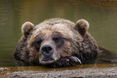 Oso marrón el dormir Fotos de archivo libres de regalías