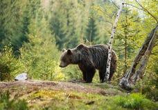 Oso marrón eurasiático - actor del actor del Ursus - cerca del árbol de abedul Fotos de archivo libres de regalías