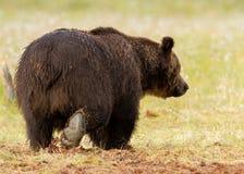 Oso marrón eurasiático (arctos de Ursos) Fotografía de archivo