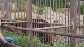Oso marrón grande en el parque zoológico almacen de metraje de vídeo