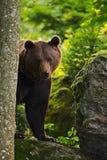 Oso marrón ocultado en el retrato del bosque del oso marrón, sentándose en la piedra gris, flores rosadas en el fondo, animal en Imágenes de archivo libres de regalías