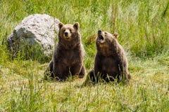 Oso marr?n europeo, arctos del ursus en un parque fotos de archivo libres de regalías