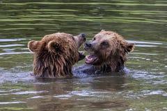 Oso marr?n europeo, arctos del ursus en un parque imagenes de archivo