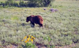 Oso masculino del grisáceo que camina en Hayden Valley en el parque nacional de Yellowstone en Wyoming los E.E.U.U. Imagen de archivo libre de regalías