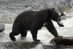 Oso negro, Alaska Fotografía de archivo libre de regalías