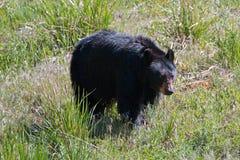 Oso negro americano de la cerda femenina [Ursus americanus] cerca de Roosevelt Lodge en el parque nacional de Yellowstone en Wyom fotos de archivo libres de regalías