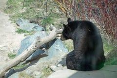 Oso negro americano en el parque zoológico de Minnesota Imagen de archivo libre de regalías
