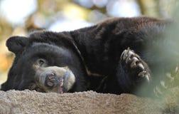 oso negro americano que coloca, California Fotos de archivo