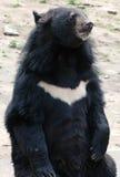 Oso negro asiático Foto de archivo libre de regalías