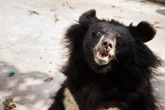 Oso negro asiático en la granja y el parque zoológico, Thail del cocodrilo de Samut Prakan Fotografía de archivo libre de regalías