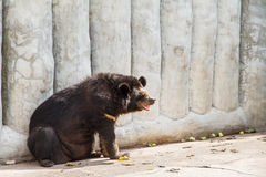 Oso negro asiático en la granja y el parque zoológico, Thail del cocodrilo de Samut Prakan Foto de archivo libre de regalías