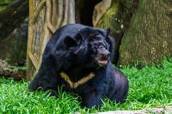 Oso negro asiático, thibetanus del Ursus Foto de archivo libre de regalías
