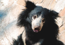 Oso negro de la pereza Foto de archivo libre de regalías