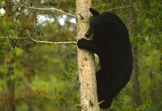Oso negro en árbol Foto de archivo libre de regalías