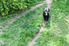 Oso negro que camina a través de un parque verde Foto de archivo