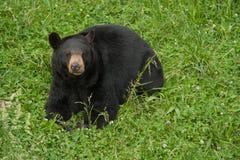 Oso negro (Ursus americanus) Foto de archivo