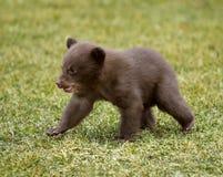 Oso negro (Ursus americanus) Cub en el movimiento Foto de archivo libre de regalías