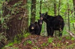 Oso negro y ensenada GSMNP de Cubs Cades imagenes de archivo